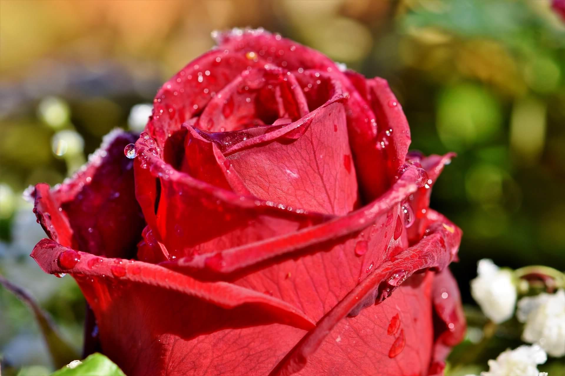 ¿Como enviar ramos de flores a Guadalajara?